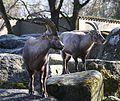 Alpensteinbock Capra ibex ibex Tierpark Hellabrunn-12.jpg