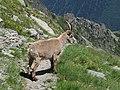 Alpine Ibex (Bouquetin) @ Path from L'Index to Col de la Gliere @ Hike to Lacs des Chéserys, Lac Blanc, Lac Cornu & Lacs Noirs @ Chamonix (15338452876).jpg