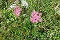 Alpine flora - a yarrow (Gru) (36920465353).jpg