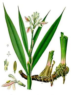 Des vertus des plantes par Macer Floridus, 1832 290px-Alpinia_officinarum_-_K%C3%B6hler%E2%80%93s_Medizinal-Pflanzen-156