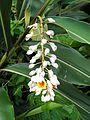 Alpinia zerumbet (Flowers).JPG