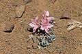 Alstroemeria spathulata (30522003521).jpg