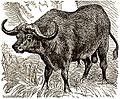 AmCyc Buffalo - Cape Buffalo.jpg