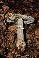 Amanita rubescens (35935036426).jpg