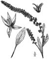 Amaranthus arenicola BB-1913.png