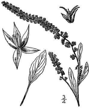 Amaranthus arenicola - Image: Amaranthus arenicola BB 1913