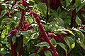 Amaranthus caudatus-IMG 9191.jpg