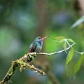 Amazilia tzacatl -Costa Rica -perching-8.jpg