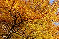 Amazing autumn leaves in the Hexham Abbey Garden - panoramio.jpg