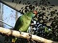 Amazona rhodocorytha -RSCF-4.jpg