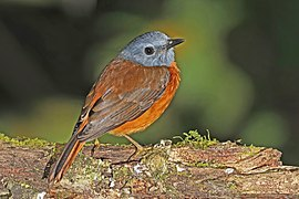 Amber mountain rock thrush (Monticola sharpei erythronotus) male 2.jpg
