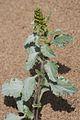 Ambrosia chamissonis.jpg