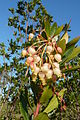 Ameixial - strawberry tree Arbutus unedo flowers (13531867643).jpg