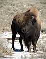 American Bison Yellowstone 2007.jpg