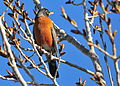 American Robin on Seedskadee National Wildlife refuge (25673052864).jpg