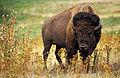 American bison k5680-1 edit.jpg