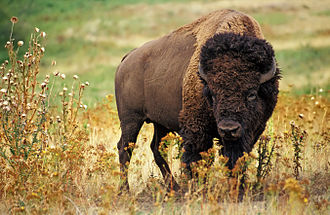 History of bison conservation in Canada - American plains bison