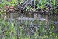 American crocodyle la manzanilla 10.jpg