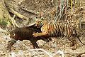 Amitava banerjee tiger wild boar tadoba.jpg