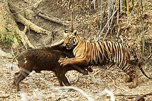 4fa56a4967f2 Bengal tiger subduing an Indian boar at Tadoba National Park