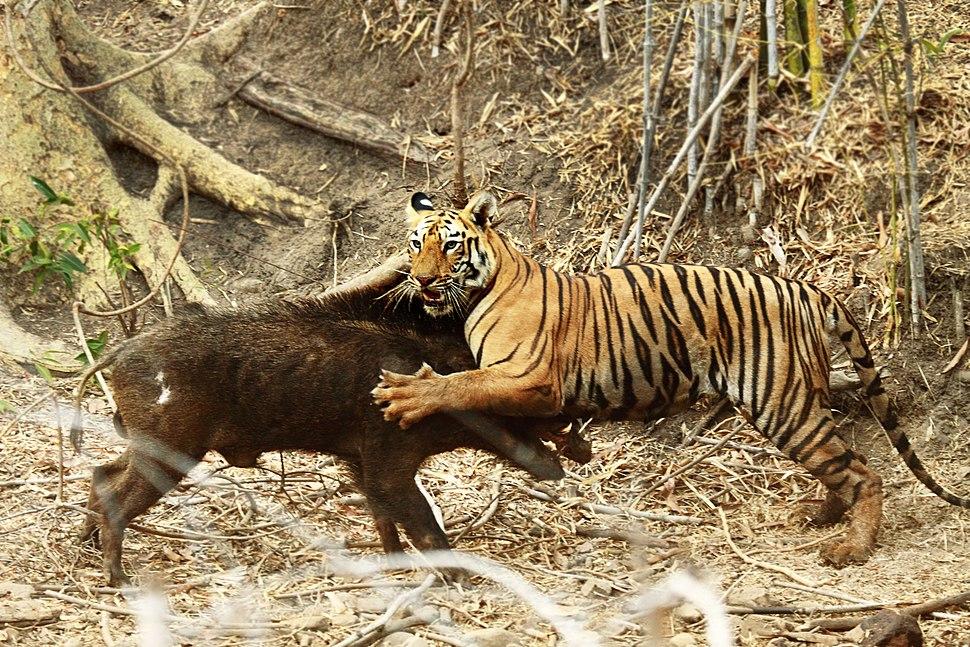 Amitava banerjee tiger wild boar tadoba