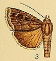 Amphipyra alpheraci.JPG