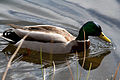 Anas platyrhynchos -Loch Katrine, Stirling, Scotland -male-8 (2).jpg