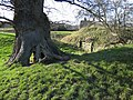 Ancient Oak by Blob Hill, Aldford - geograph.org.uk - 330616.jpg
