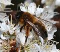 Andrena (Melandrena) nigroaenea - female - Flickr - S. Rae.jpg