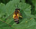 Andrena rufomaculata female 1.jpg
