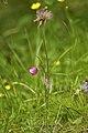 Anemone vernalis LC0322.jpg