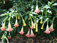 AngelTrumpet Mounts Asit.jpg