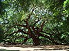 Angel Oak Tree in SC.jpg