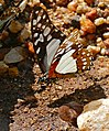 Angola White Lady (Graphium angolanus) (33032733772).jpg