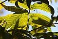Annona-reticulata.jpg