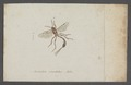 Anomalon - Print - Iconographia Zoologica - Special Collections University of Amsterdam - UBAINV0274 046 04 0031.tif