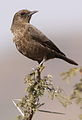 Ant-eating Chat (or Southern Anteater-chat), Myrmecocichla formicivora at Suikerbosrand Nature Reserve, Gauteng, South Africa (14852936552).jpg