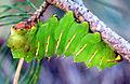 Antheraea polyphemus larva.jpg