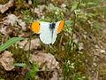 Anthocharis Cardamines (aurore ; ailes dépliées).JPG