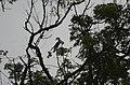 Anthracoceros coronatus Malabar Pied Hornbil JEG2945.jpg