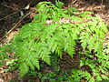 Anthriscus sylvestris Japan2.JPG