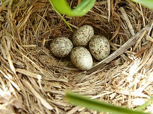 African pipit - A nest in South Africa