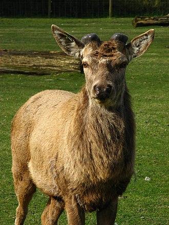 Antler - Red deer at the beginning of the growing season