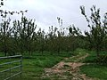 Apple orchard with apples - geograph.org.uk - 565641.jpg