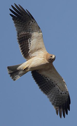 Booted eagle - Light morph from below