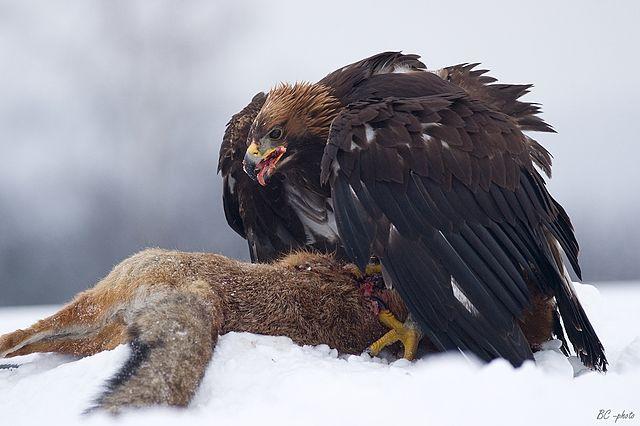 Orol - predátor, líška - korisť