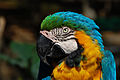 Ara ararauna -Birmingham Zoo -USA-8.jpg