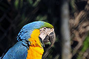 Ara ararauna -Sao Paulo Zoo, Brasil -upper body-8a