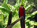 Ara macao -Happy Hollow Park and Zoo, San Jose, USA-8a.jpg