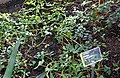 Arachis hypogaea - Wilhelma Zoo - Stuttgart, Germany - DSC01974.jpg